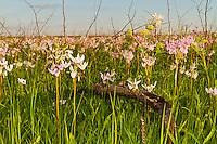 Shooting Star wild flowers at Hayden Prairie State Preserve.