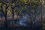 Log smoking in miombo woodland, Kafue National Park, Zambia