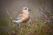 A rare New Zealand Dotterel walks up a grass covered shellbank at Miranda on the south western side of the Firth of Thames.