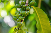 Close-up of green coffee cherries on tree at Kaleo's Koffee orchard in Pa'auilo Mauka on the Big Island.