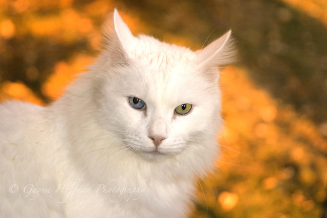 White long haired cat with one blue eye and one green eye. Heterochromia