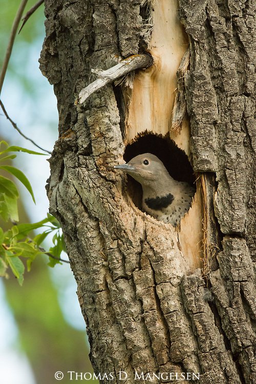 A female Northern flicker nestling looks out from her nest within a cottonwood tree in Grand Teton National Park, Wyoming.