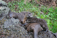 Northern River Otter (Lontra canadensis) family play and explore on lake side rock.  Western U.S., summer..