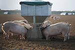 Free range pig farming, Sutton Heath, Suffolk, England