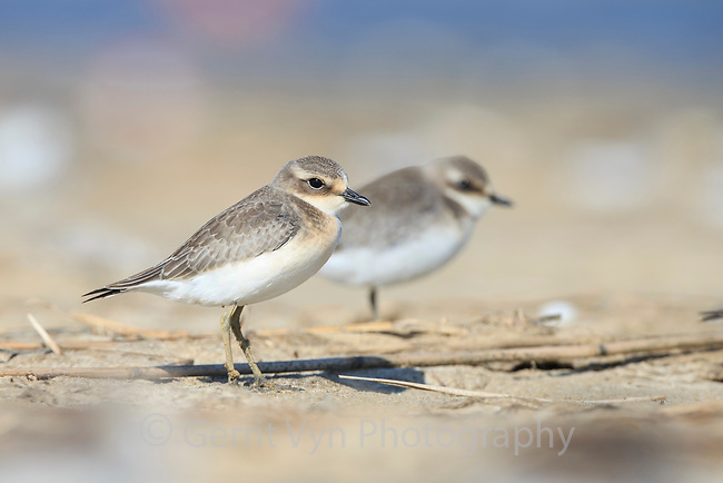 Juvenile Lesser Sand Plover (Charadrius mongolus) on its first migration south. Busan, South Korea. October.