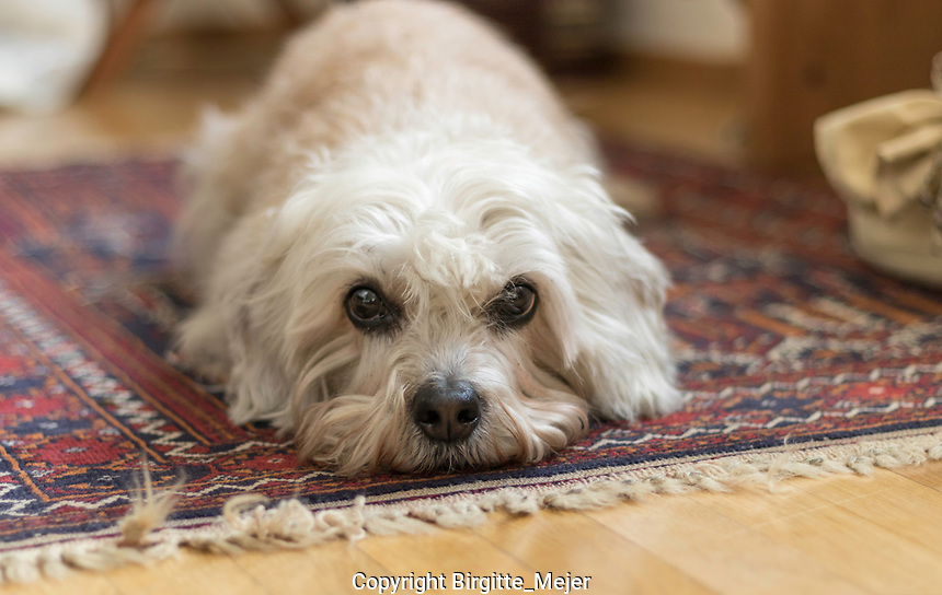 Mustard Dandie Dinmont Terrier, lying flat on a rug, looking straight at the Camera.