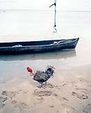 PANAMA, Bocas del Toro, Salt Creek Islands, a chicken runs on the beach in front of a dugout canoe in a Guaymi Indian village, Central America