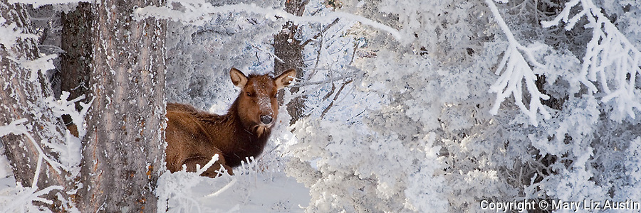 Yellowstone National Park, WY <br /> Elk bedded among frosted pine branches on the upper terraces of Mammoth Hot Springs