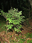 Leatherwood shrub Dirca palustris  chicopee