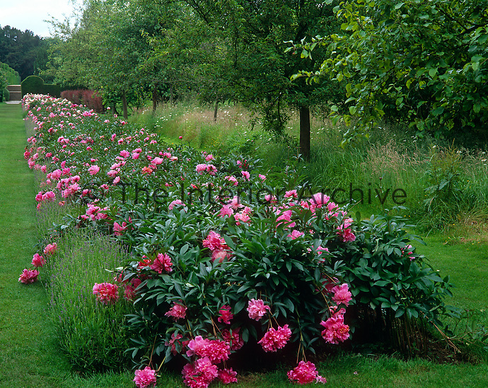 A long border filled with lavender and peonies in the garden of Penshurst Place in Kent