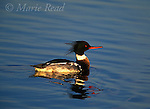Red-breasted Merganser (Mergus serrator) adult male swimming, Bolsa Chica Ecological Reserve, CA, USA<br /> Slide # B24-4104