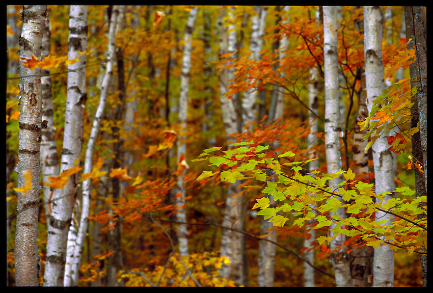 MAPLES LEAVES IN FALL COLOR IN THE WHITE BIRCH FOREST NEAR TWELVE-MILE BEACH CAMPGROUND IN THE PICTURED ROCKS NATIONAL LAKESHORE, GRAND MARAIS MICHIGAN.