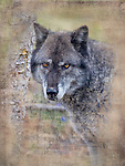 A gray timber wolf stands by a tree. A timber wolf stands looking ahead.