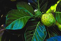 Noni, medicinal Hawaiian plant
