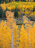 San Isabel National Forest, Cottonwood Pass, CO: Aspen trees with brilliant orange folirage