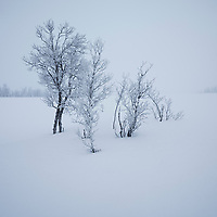 Foggy winter scene of brich forest, Senja, Norway