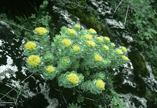 ROSEROOT - Rhodiola rosea (Crassulaceae) Height to 30cm<br />