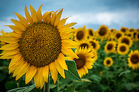 Sunflowers in bloom at Grinter Farm near Lawrence Kansas.