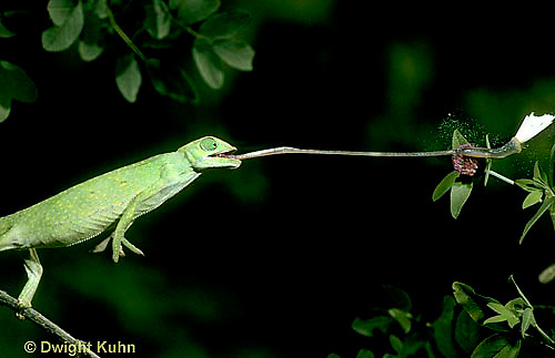 CH04-018z  African Chameleon - catching butterfly prey with long tongue - Chameleo senegalensis