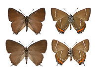 White-letter Hairstreak - Strymondia w-album. Male (top) - female (bottom). Wingspan 35mm. Small, active butterfly that is hard to observe closely. Usually flies around treetops but also visits Bramble flowers to feed. Adult seldom reveals upperwings. Underwings are brown with jagged orange band and white 'w' on hindwing. Flies July-Aug. Larva is rather slug-like and feeds on elms. Widespread loss of larval foodplants from Dutch elm disease has caused decline. Today it is very local, in central and southern England and Wales.