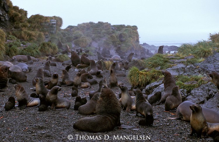 Antarctic fur and Southern elephant seals relaxing on the shore of Prion Island, South Georgia.