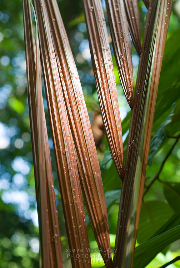 Palm Frond in sunlight,  Smithsonian Tropical Research Institute, STRI, Barro Colorado, Lago Gatun, Panama