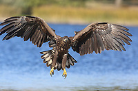 Seeadler, Flug, Flugbild, fliegend, See-Adler, Adler, Haliaeetus albicilla, White-tailed Eagle, eagle of the rain, sea grey eagle, erne, gray eagle, white-tailed sea-eagle, Pygargue à queue blanche