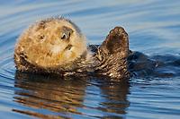 USA, California, Moss Landing, Sea otter (Enhydra lutris nereis)