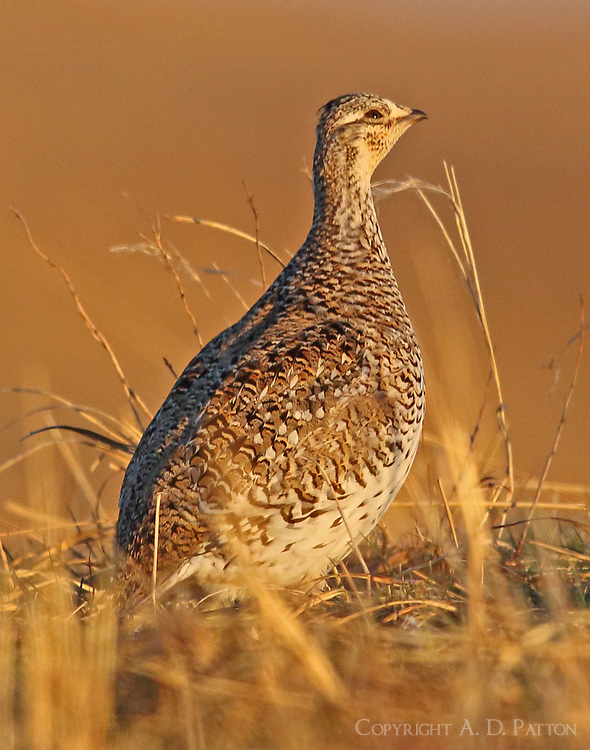 A female sharp-tailed grouse at the lek.