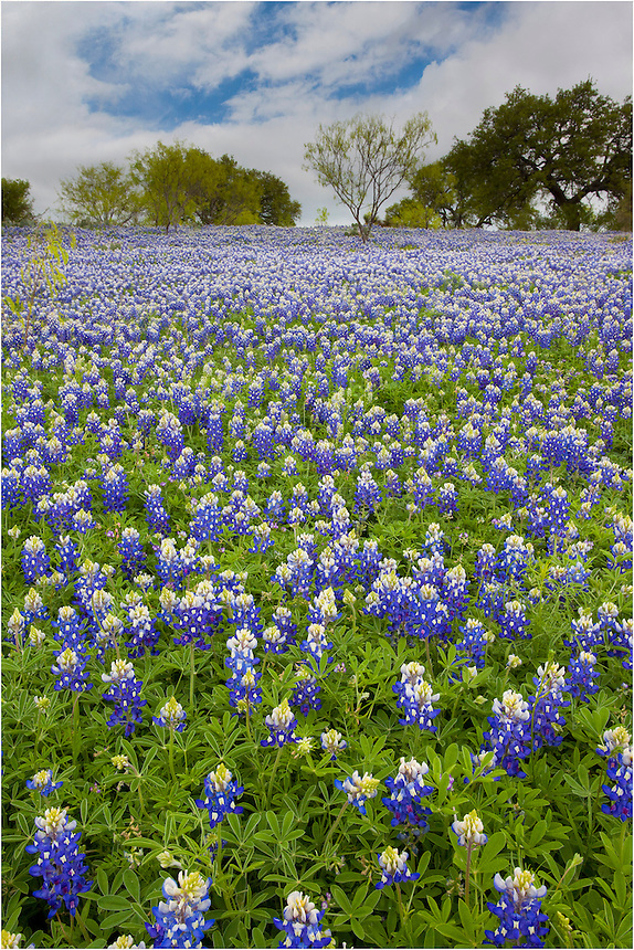 Texas Bluebonnets come alive in the spring along Art Hedwig Road in the Texas Hill Country - just outside of Mason, Texas.