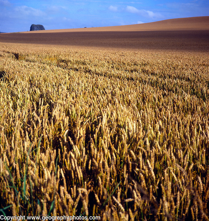 Cereal farming on the Downs uplands in Wiltshire, England