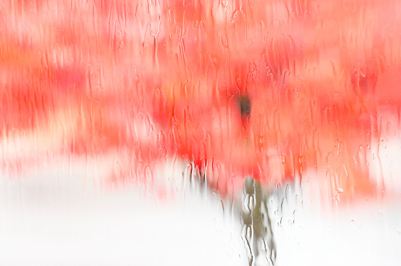 Fall colored maple tree through rainy window.