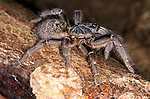 Togo or Starburst Baboon Spider, Hetroscodra maculata, Tarantula, West Africa, dark form, captive, female, on log.Africa....