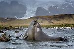 South Georgia Island (British Overseas Territory) , southern elephant seal (Mirounga leonina), king penguin (Aptenodytes patagonicus)