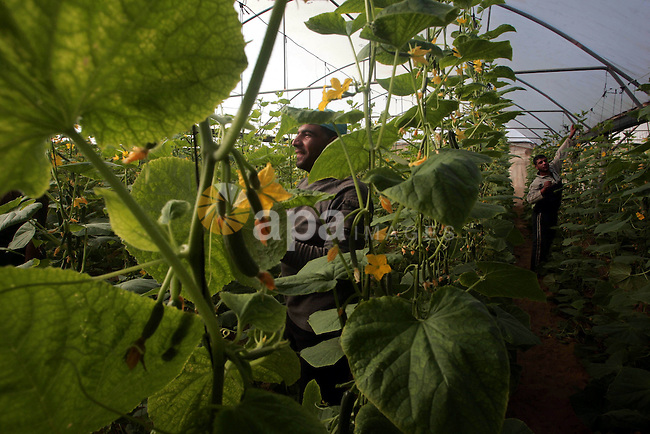 Palestinian farmers work in the cucumber crop at their Mawasi farm in the southern Gaza Strip town of Khan Younis, Oct. 28,2010. The farmers suffer from the problems of lack of water in the groundwater, causing serious damage to agriculture. Photo by Khaled Khaled