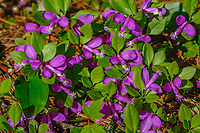 Fringed Polygala, Polygala Paucifolia, growing In the Adirondack Mountains of New York State