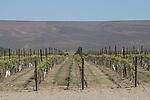 Columbia Basin, Wahluke Slope, Vineyard, Drip Irrigation, spring, Agriculture, Columbia Basin, eastern Washington, Washington State, Pacific Northwest, USA, North America,