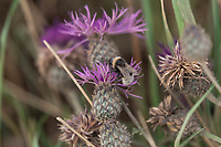 17.7.2020 Bee on a field margin<br />  ©Tim Scrivener Photographer 07850 303986<br />      ....Covering Agriculture In The UK.