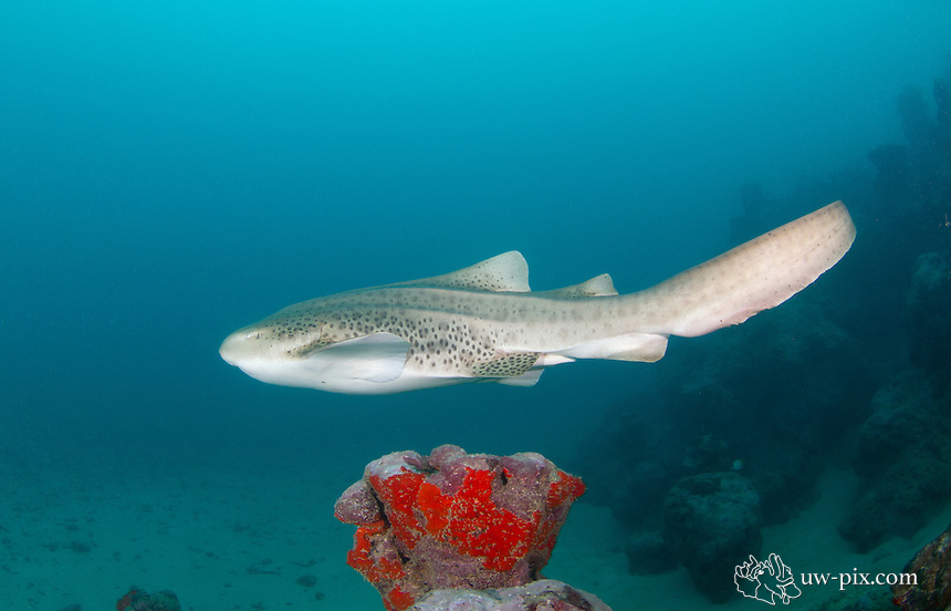 The zebra shark (Stegostoma fasciatum or varium) is a species of carpet shark and the sole member of the family Stegostomatidae. Sometimes it is also called Leopard shark. It is found throughout the tropical Indo-Pacific, frequenting coral reefs and sandy flats to a depth of 62 m (210 ft). Adult zebra sharks are distinctive in appearance, with five longitudinal ridges on a cylindrical body, a low caudal fin comprising nearly half the total length, and a pattern of dark spots on a pale background. Young zebra sharks under 50&ndash;90 cm (20&ndash;35 in) long have a completely different pattern, consisting of light vertical stripes on a brown background, and lack the ridges. This species attains a length of 2.5 m (8.2 ft).<br /> Zebra sharks are nocturnal and spend most of the day resting motionless on the sea floor. At night, they actively hunt for molluscs, crustaceans, small bony fishes, and possibly sea snakes inside holes and crevices in the reef. Though solitary for most of the year, they form large seasonal aggregations. The zebra shark is oviparous: females produce several dozen large egg capsules, which they anchor to underwater structures via adhesive tendrils. Innocuous to humans and hardy in captivity, zebra sharks are popular subjects of ecotourism dives and public aquaria. The World Conservation Union has assessed this species as Vulnerable worldwide, as it is taken by commercial fisheries across most of its range (except off Australia) for meat, fins, and liver oil. There is evidence that its numbers are dwindling.
