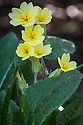 False oxlip or Primula veris x vulgaris (P. x polyantha), East Sussex, early April.
