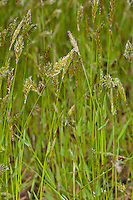 Gewöhnliches Ruchgras, Wohlriechendes Ruchgras, Ruchgras, Geruchgras, Anthoxanthum odoratum, sweet vernal grass, holy grass, vanilla grass, buffalo grass, Sweet Vernal-grass, Scented vernal grass