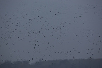 Tens of thousands of wild geese gather during their winter migration at Old lake in Tata (about 70 km west from the capital city Budapest), Hungary on November 23, 2012. ATTILA VOLGYI