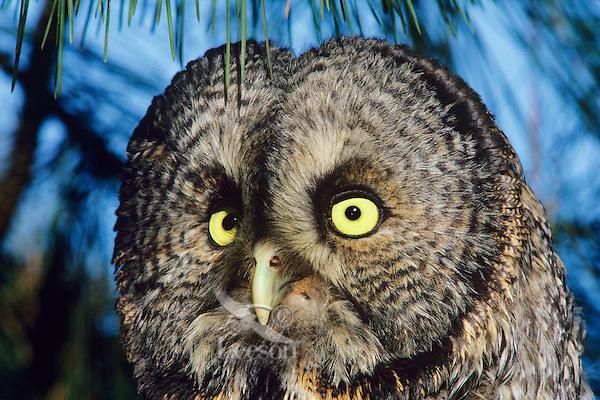 Great gray owl closeup