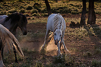 "Phantom lowers his head to show disapproval, which is called ""snaking."" THe stallion is trying to control his son who wandered away from the band.  <br />