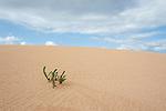 Desert Plant, Corralejo Dunes National Park (Parque Natural de las Dunas de Corralejo), Fuerteventura, Canary Islands, Spain