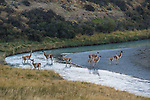 A herd of Guanaco gather in the shallow riverbed in Patagonia, Chile.