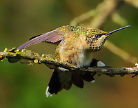 Subadult male ruby-throated hummingbird stretching
