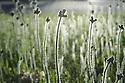 Spring dandelion stems backlit to show details