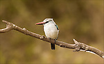 Woodland Kingfisher in the Ngorongoro Crater.(Halcyon senegalensis).August 16, 2006. © Fitzroy Barrett.