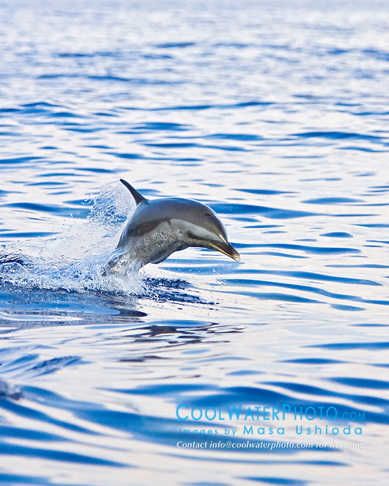 Pantropical Spotted Dolphin juvenile, Stenella attenuata, jumping out of boat wake, off Kona Coast, Big Island, Hawaii, Pacific Ocean.